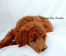 Beyond Bliss Poodles photo