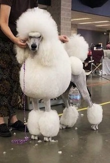 Argan Standard Poodles photo