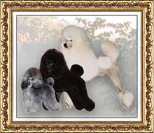 Ash's-Mystical Poodles photo