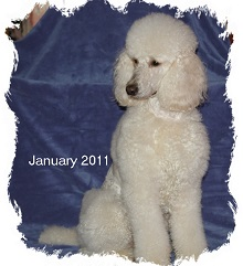 Sonne Standard Poodles photo