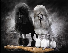 Lacy Lane Poodles photo